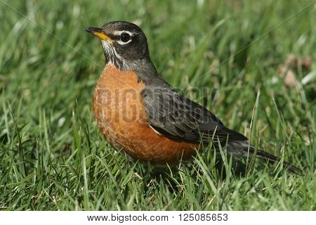Male American Robin (Turdus migratorius) looking for worms on a lawn in spring