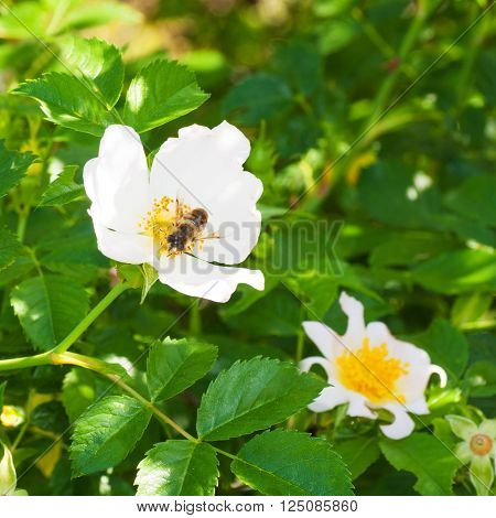 Organic Rosehip Flower in Spring with Insect.