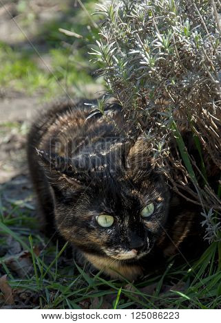 A close look of tortoiseshell cat in the grass