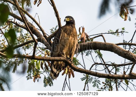 Crested serpent eagle is a medium-sized bird of prey that is found in forested habitats across tropical Asia