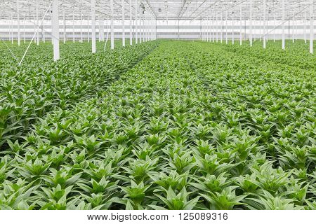 Dutch Greenhouse with cultivation of lily flowers