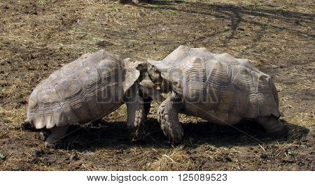 Two large tortoises engaged in a fight.