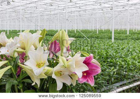 Dutch Greenhouse with cultivation of colorful lily flowers
