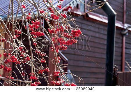 Ripe rowan berries on a branch near a house
