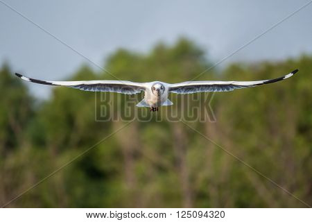 Brown headed gull flying in the sky