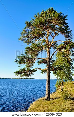 Tall spreading pine tree standing on the steep cliff at Irtyash Lake in Southern Urals Russia - summer landscape in sunny weather