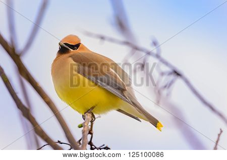 Cedar Waxwing Bird perched on branch, feathers ruffled, yellow and brown