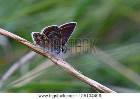 Brown argus (Aricia agestis) at rest with wings open. Delicate brown butterfly in the family Lycaenidae, at rest in a British meadow