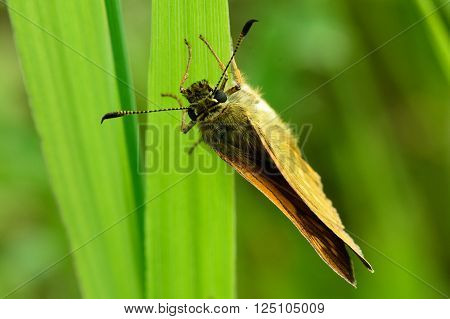 Large skipper (Ochlodes sylvanus) ovipositing. Butterfly in the family Hesperiidae, showing hooked tips to antennae whilst laying eggs on grass