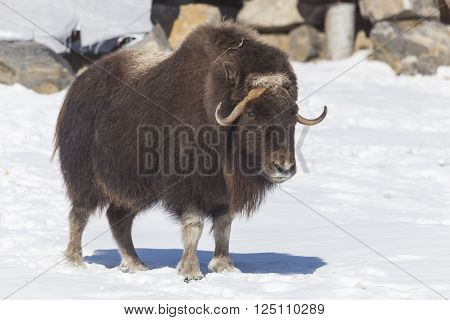 A lone, large Musk Ox in a winter scene