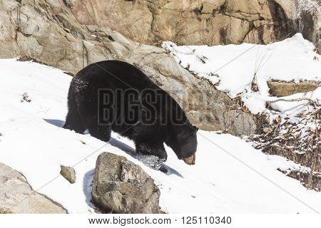 A lone walking big black bear in nature