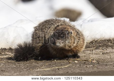 A lone ground hog on a spring day