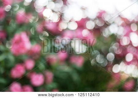 Blurred natural background. Blooming oleander shrub.