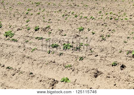 agricultural field on which grows green potatoes, spring