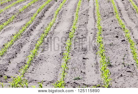 agricultural field with young corn in spring season. Belarus. close-up