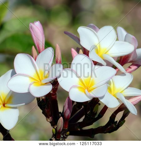 White And Yellow Frangipani With Bokeh Background.