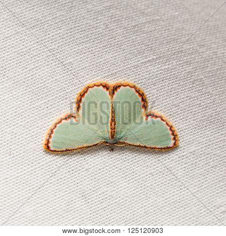 Comostola Pyrrhogona Moth