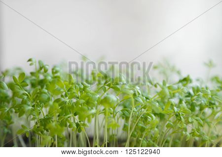 Fresh watercress sprouts on windowsill. Selective focus.