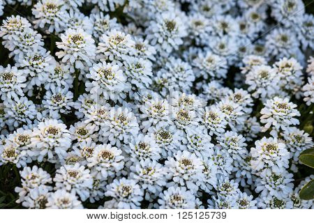 A lot of Iberis sempervirens Snowflake flowers as a backgroung