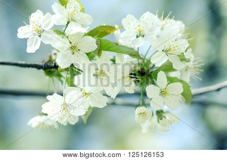 Spring branch of a tree with blossoming white small flowers on a background of blue sky and green leaves. Springtime background. Close up.