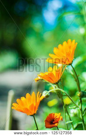 Marigold orange flowers growing in garden. Calendula officinalis.