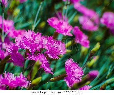 Wild Carnation flowers field in a sunny day with selective focus.
