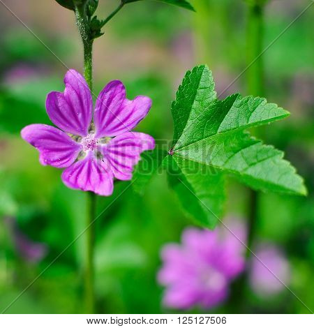 View close up of the wild flower of a Mallow with natural background.