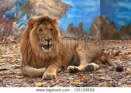 Male lion ( Panthera leo ) resting in the zoo