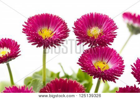 Red Bellis flowers isolated on white background