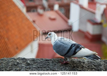 White - grey dove sitting on the eaves of the house amid the red Roofs of the old houses of the European city. Urban bird is pigeon.