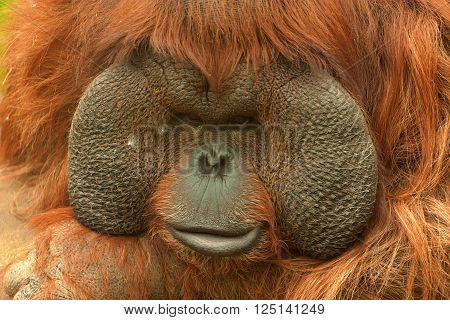 Boneo orangutan (Pongo pygmaeus) in Moscow Zoo