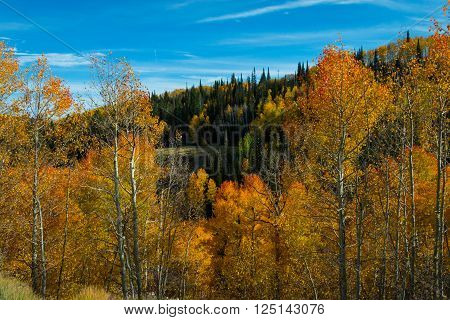 Autumn leaves glow red, organge, and yellow in a mountain meadow with pine trees and blue skies with wispy clouds
