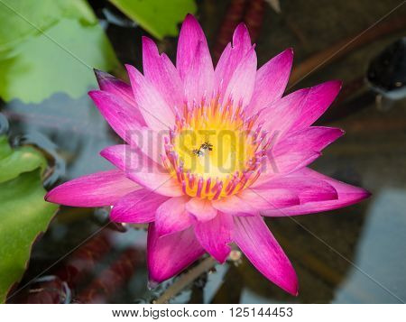 Insect get drown in waterlily or lotus flower
