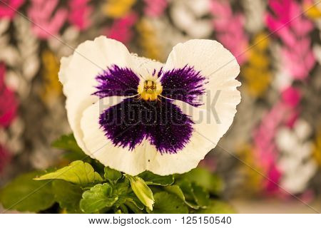 Viola tricolor.   In this picture we see the spring flowers of violets .