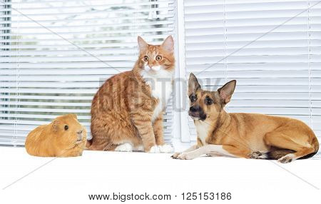 red cat and a dog and guinea pig together on window