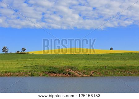 A planted hill of canola l in full bloom of vibrant yellows and in the foreground a lake and grazing field of cattle. The cattle give the hill dimension and scale.