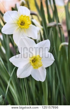 white narcissus blooming in early spring .