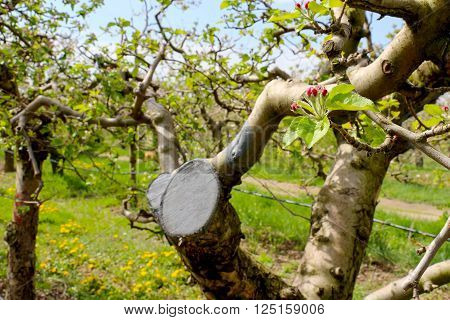 picture of a pruned apple branch in april