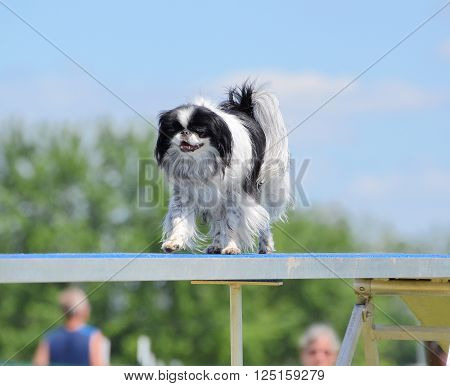 Japanese Chin Running on a Dog Walk at an Agility Trial