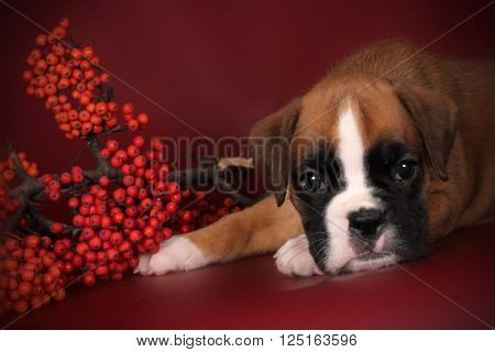 Cute puppy boxer laid his head on his paws sad eyes