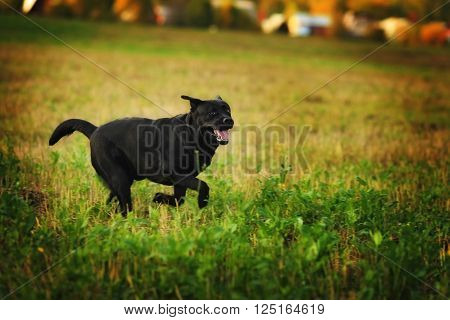 Black dog breed labrador Retriever fun running around the meadow