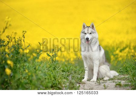 female Siberian Husky portrait with yellow flowers