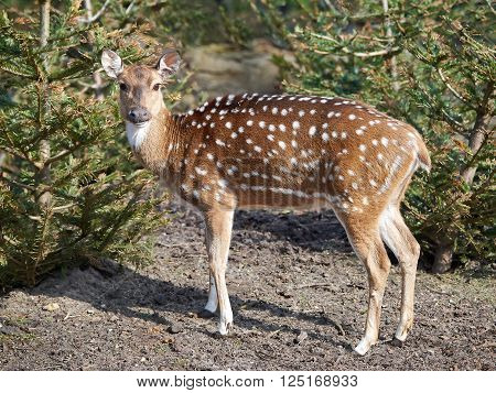 Spotted deer (Axis axis) in its natural habitat looking at the camera