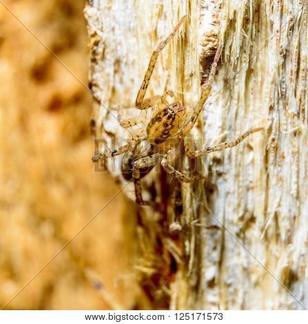 Brown spider on dry tree macro photography