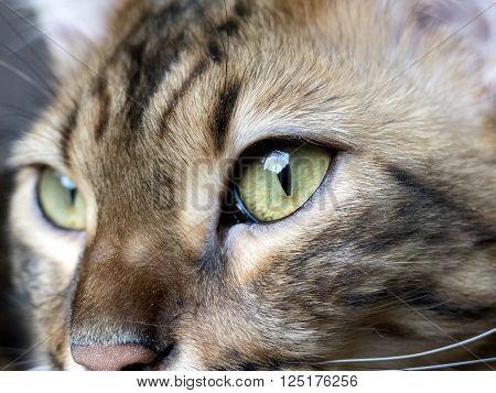 Bengal Cat: Bengal Cat Head Close Up Taken At Home