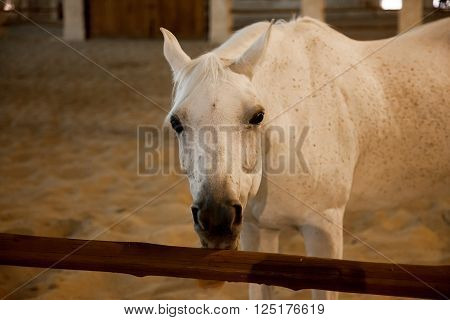 White Arabic thoroughbred horse in Doha Qatar