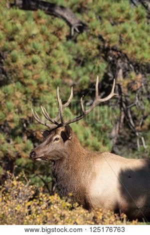 a bull elk during the fall rut