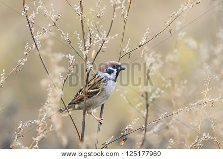 little brown Sparrow bird sitting on the branches of wormwood