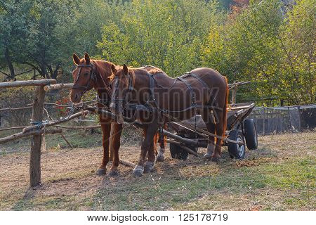 Horses harnessed to a cart on the farm. Animals