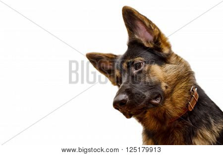Funny German shepherd with its head tilted isolated on white (shallow DOF selective focus on the eye) with copy space on the left for your text